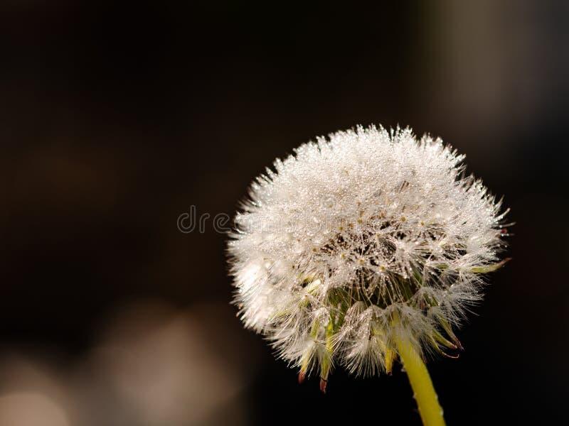 Dandelion z kroplami wodnymi błyszczącymi jak kryształy zdjęcia stock
