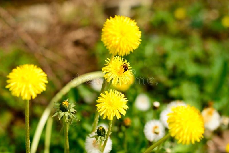 Dandelion z pszczołą zdjęcie royalty free
