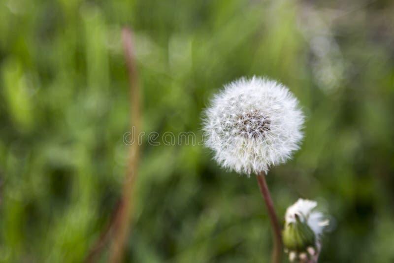 Dandelion Z Zieloną trawą Z ostrości obrazy royalty free