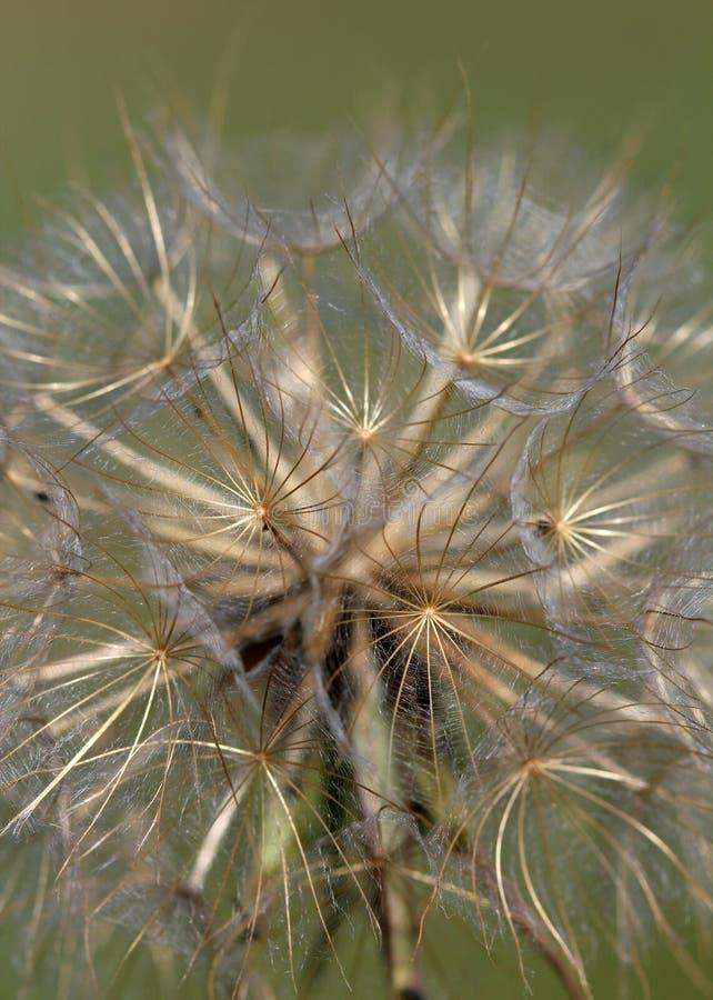 Dandelion zamknięty up zdjęcia royalty free