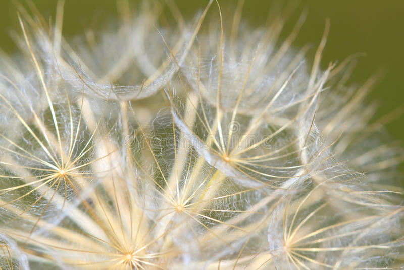 Dandelion zamknięty up fotografia stock
