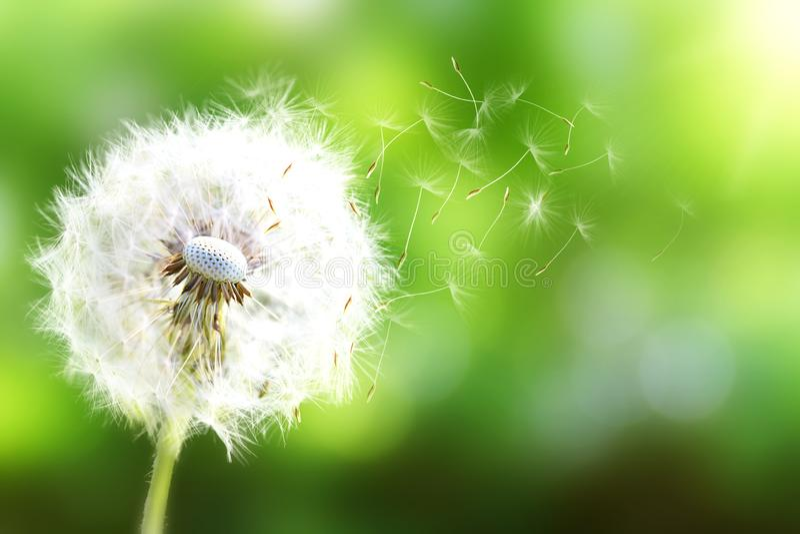 Dandelion Zamyka up dandelion zarodniki dmucha daleko od, niebieskie niebo Dandelion ziarna zamykają w górę dmuchania w błękitnym zdjęcia stock