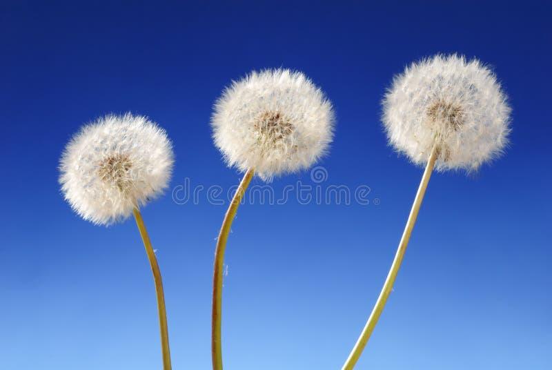 dandelion zasadza trzy obraz stock