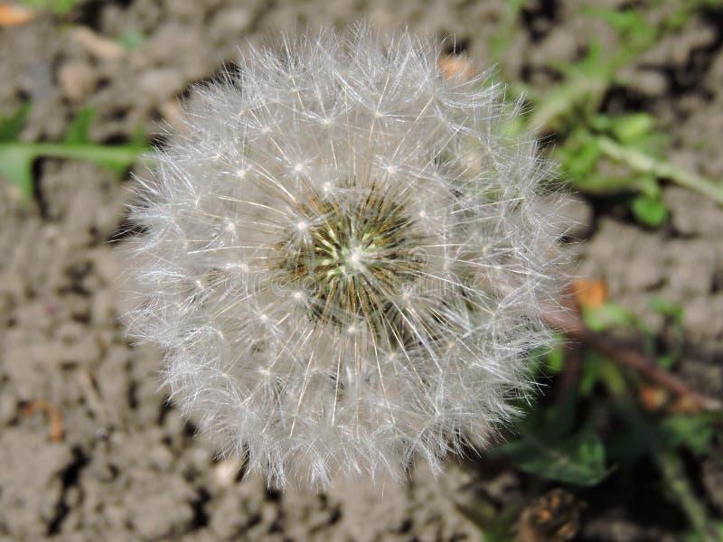 Dandelion zbliżenie fotografia stock