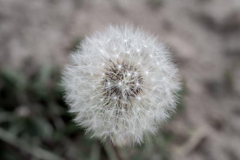 Dandelion zegar zdjęcie stock