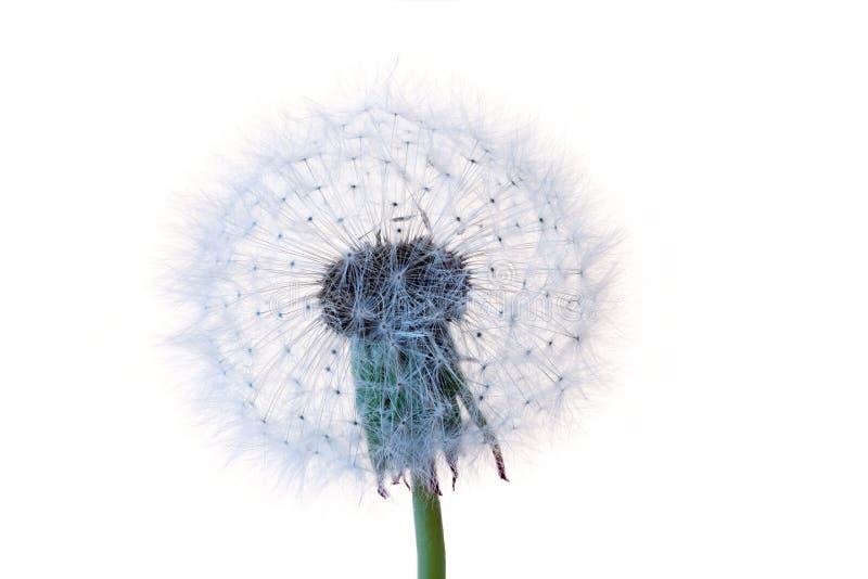 Dandelion zegar zdjęcie royalty free