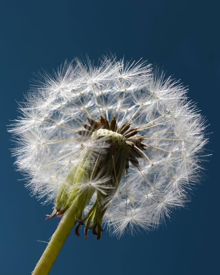 Dandelion zegar na błękicie zdjęcie royalty free