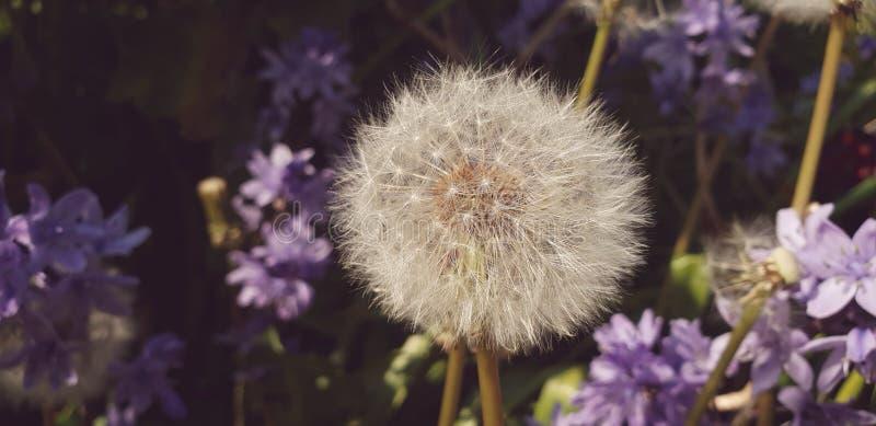 Dandelion zegar fotografia stock