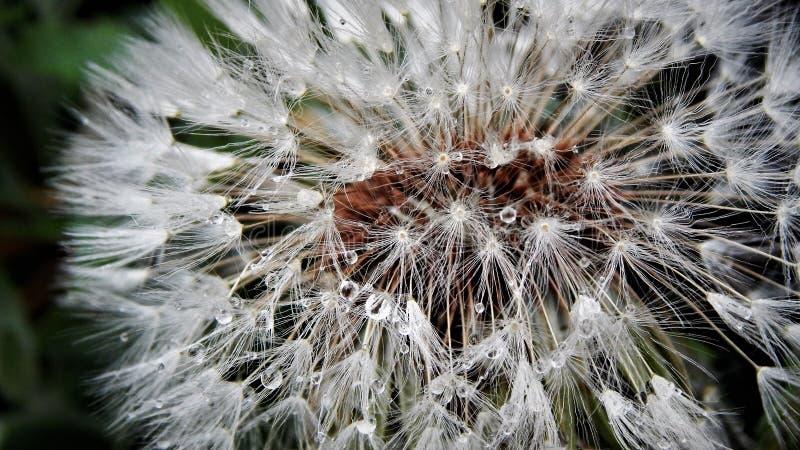 Dandelion zegaru kwiat w makro- fotografii w lato ogródzie - zdjęcie stock