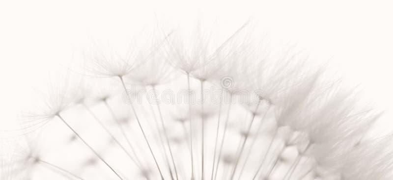 dandelion ziarna zdjęcia stock