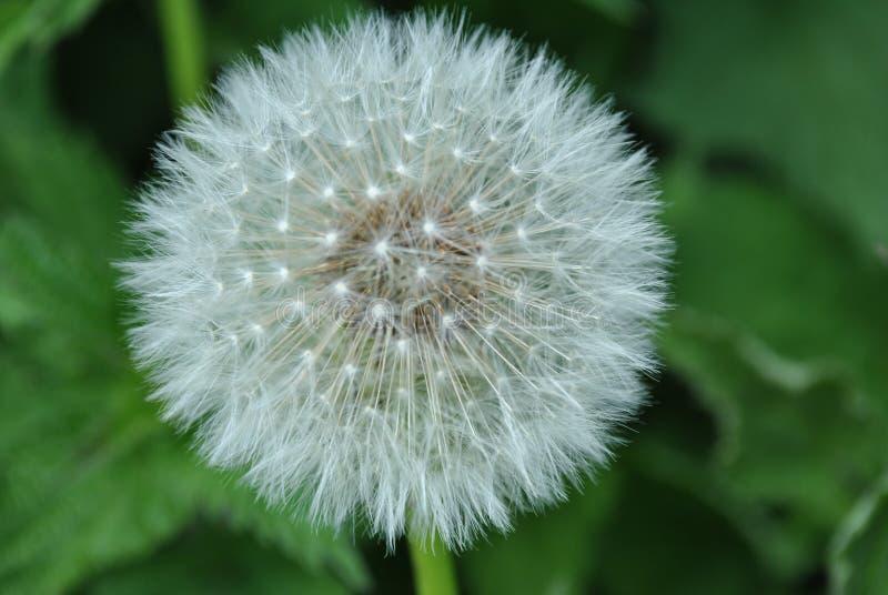 Dandelion ziarna głowy pojedynczy kwiat zdjęcie royalty free