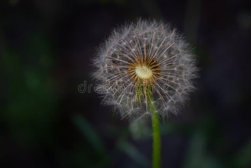 Dandelion ziarna w świetle słonecznym dmucha daleko od przez świeżego zielonego ranku tło fotografia stock