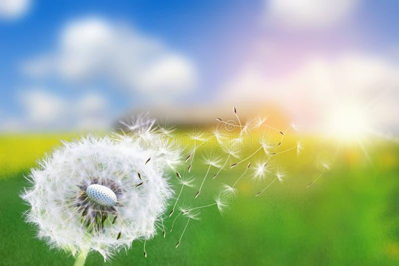 Dandelion ziarna w świetle słonecznym dmucha daleko od przez świeżego zielonego ranku tło obrazy royalty free