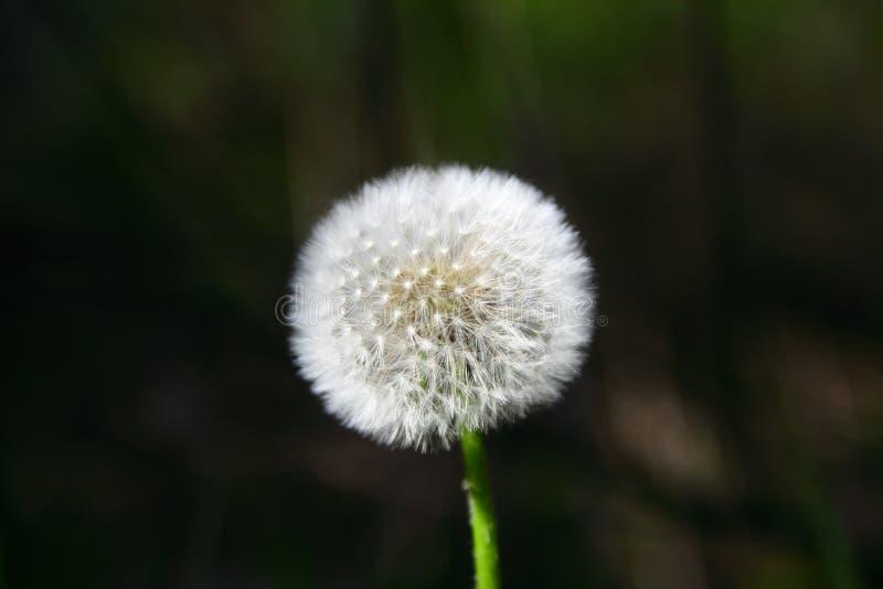 Dandelion ziarna w ranku świetle słonecznym obrazy stock
