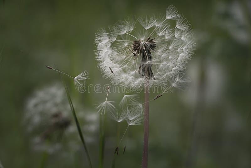 Dandelion ziarna w ranku świetle słonecznym dmucha daleko od przez świeżego zielonego tło obrazy stock