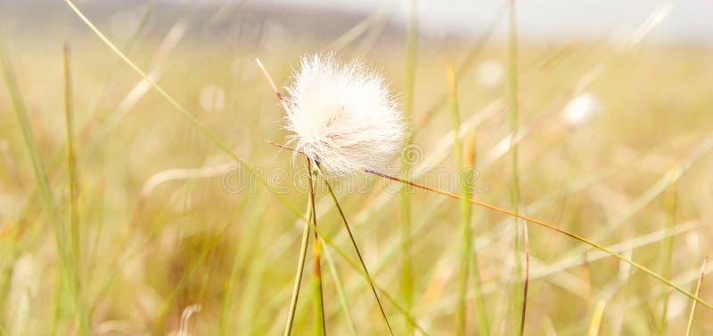 Dandelion ziarna w ranku ?wietle s?onecznym dmucha daleko od przez ?wie?ego zielonego t?o zdjęcia stock
