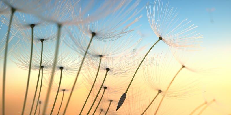 Dandelion ziarna w wieczór słońcu zdjęcia royalty free