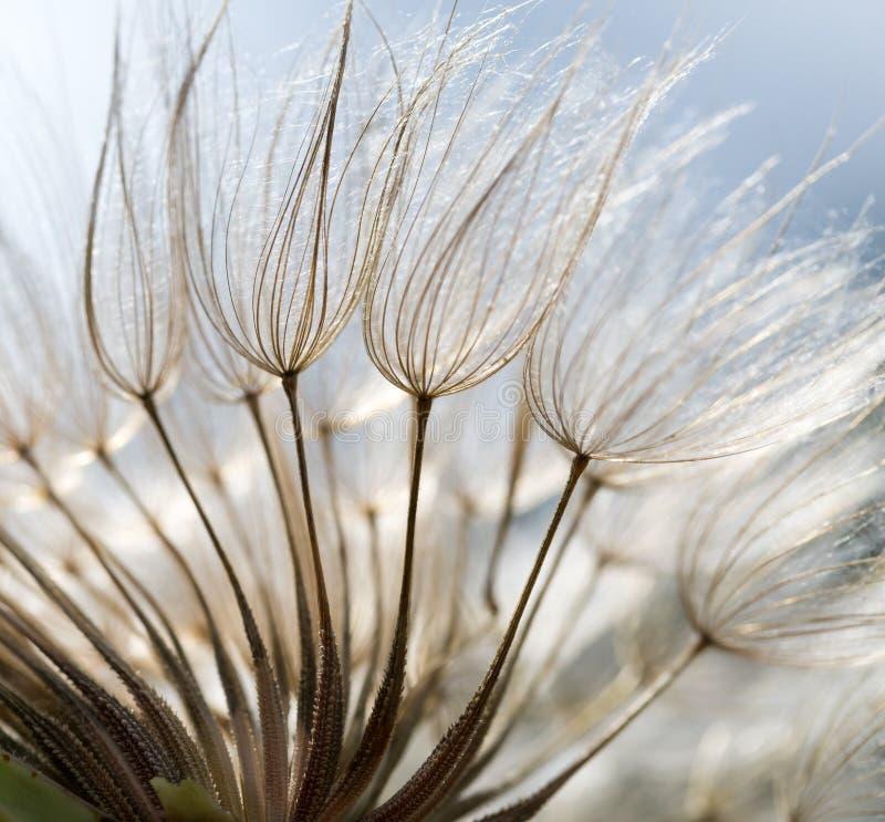 Dandelion ziarna w zakończeniu up obrazy royalty free