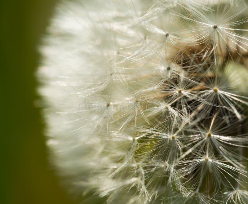 Dandelion ziarna w zakończeniu up zdjęcia royalty free