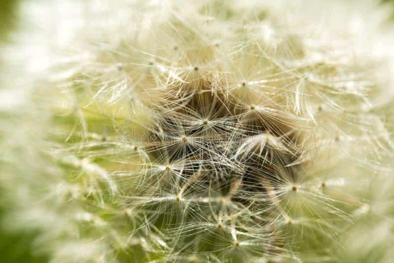 Dandelion ziarna w zakończeniu up obraz stock