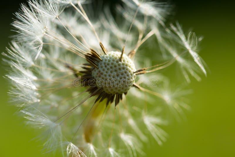 Dandelion ziarna w zakończeniu up zdjęcie stock
