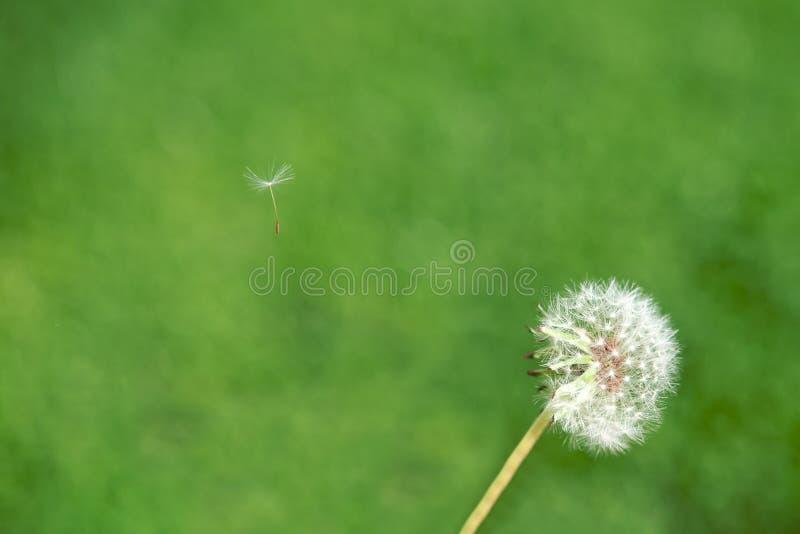 dandelion ziarno zdjęcia royalty free