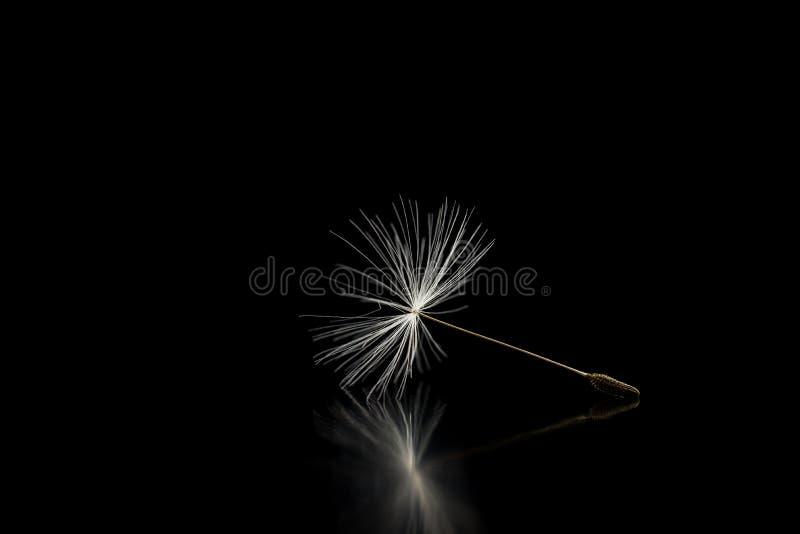 Dandelion ziarno na czarnym tle zdjęcie royalty free