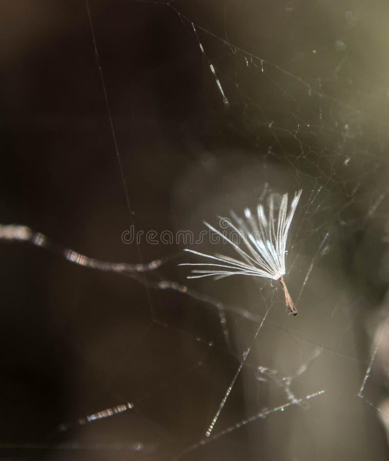 Dandelion ziarno w pająk sieci zdjęcie royalty free
