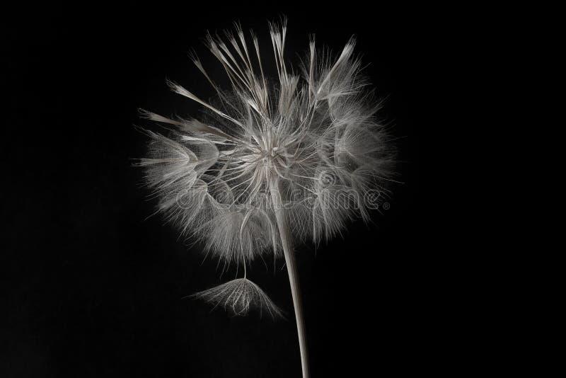 Dandelionbloem en zaden sluiten op een zwarte achtergrond stock afbeelding