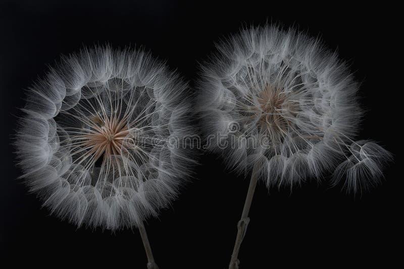 Dandelionbloem en zaden sluiten op een zwarte achtergrond stock afbeeldingen