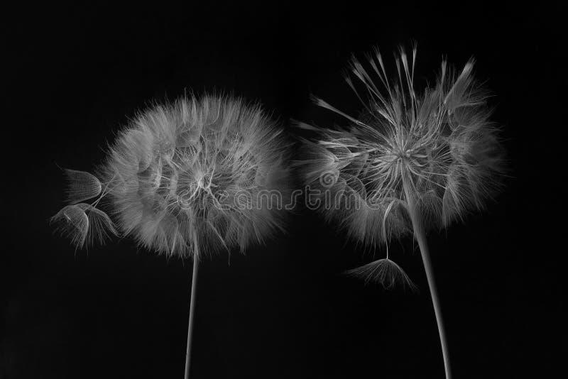 Dandelionbloem en zaden sluiten op een zwarte achtergrond royalty-vrije stock fotografie