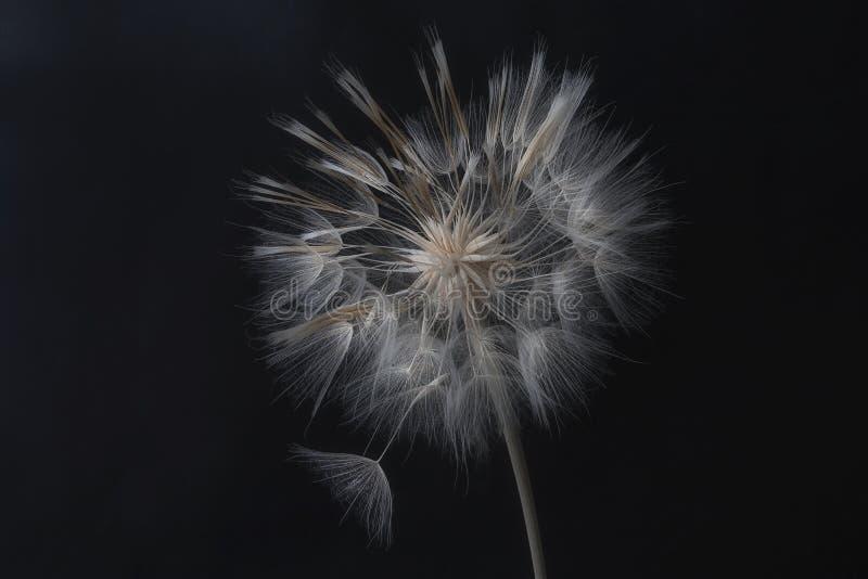 Dandelionbloem en zaden sluiten op een zwarte achtergrond royalty-vrije stock foto's