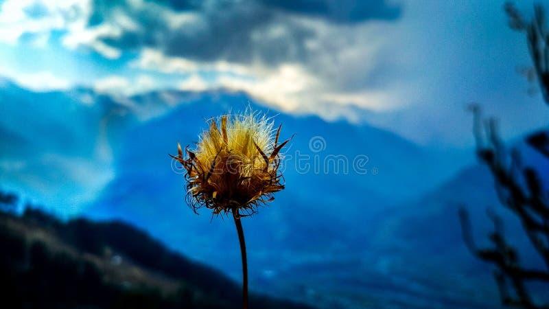 Dandelione fotografering för bildbyråer