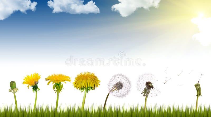 dandelions życia słońce obrazy royalty free