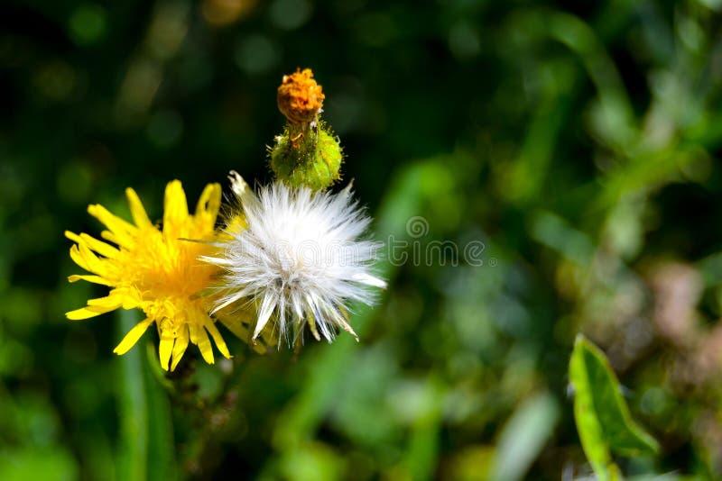 dandelions zdjęcie stock