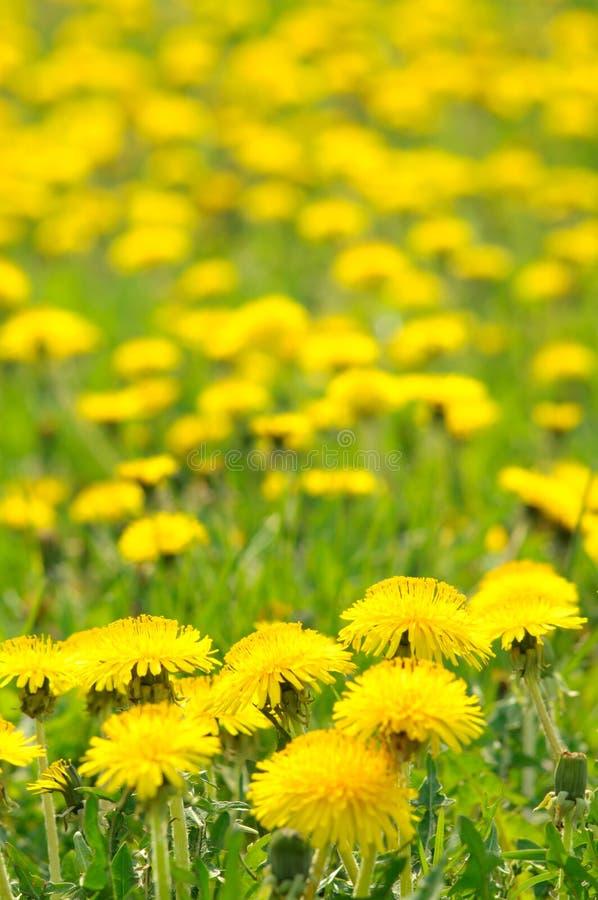 Download Dandelions stock image. Image of bloom, dandelion, garden - 19440005