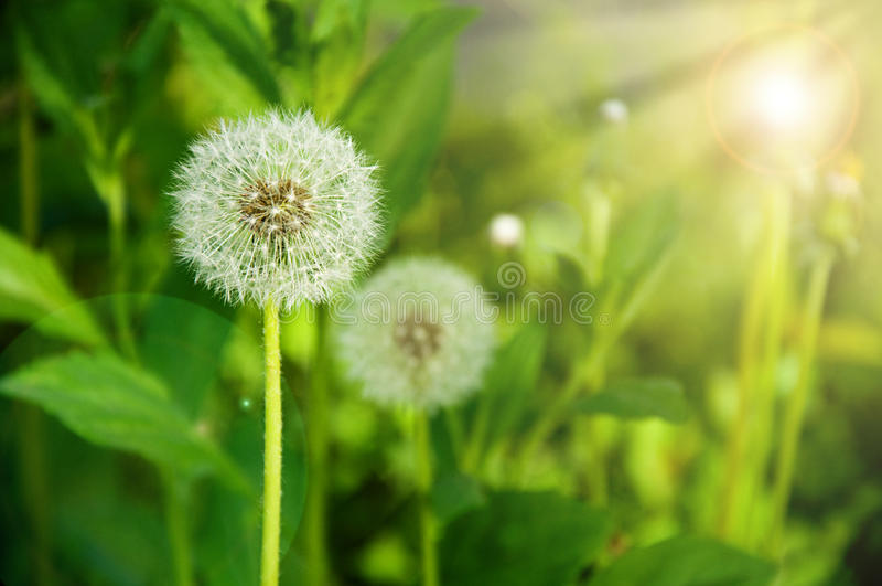 Dandelions. A meadow of Dandelions close up stock image