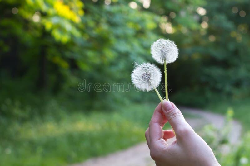 Download Dandelions stock photo. Image of dandelions, girl, background - 19636238