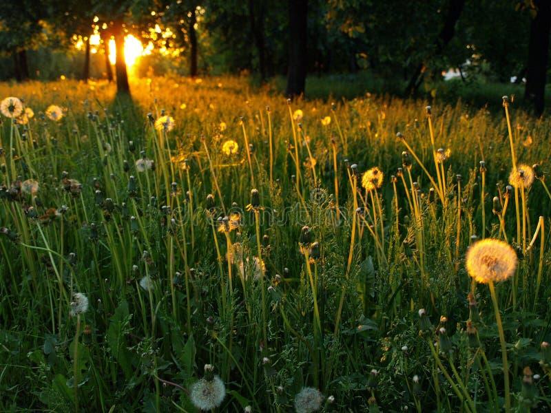 dandelions zdjęcia stock
