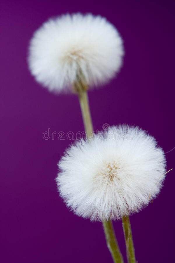 Download Dandelions stock photo. Image of dandelion, flowers, violet - 25753640