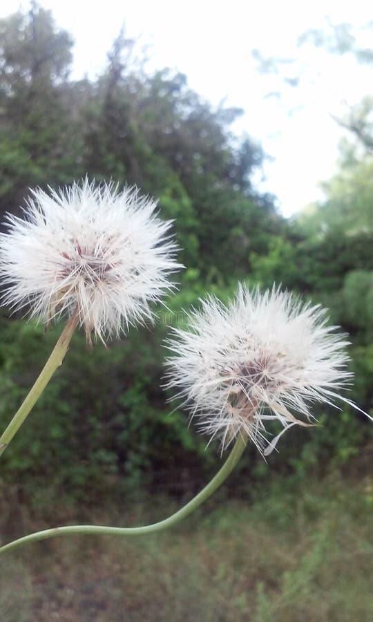 dandelions fotografia stock