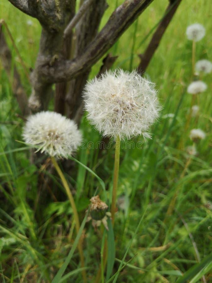 Dandelions around a sapling royalty free stock image