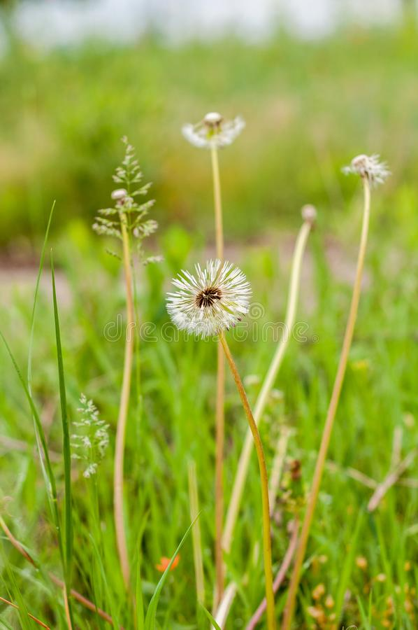 Dandelions on the background of bright, saturated green grass and earth.  royalty free stock photo