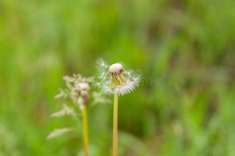 Dandelions on the background of bright, saturated green grass and earth.  royalty free stock images