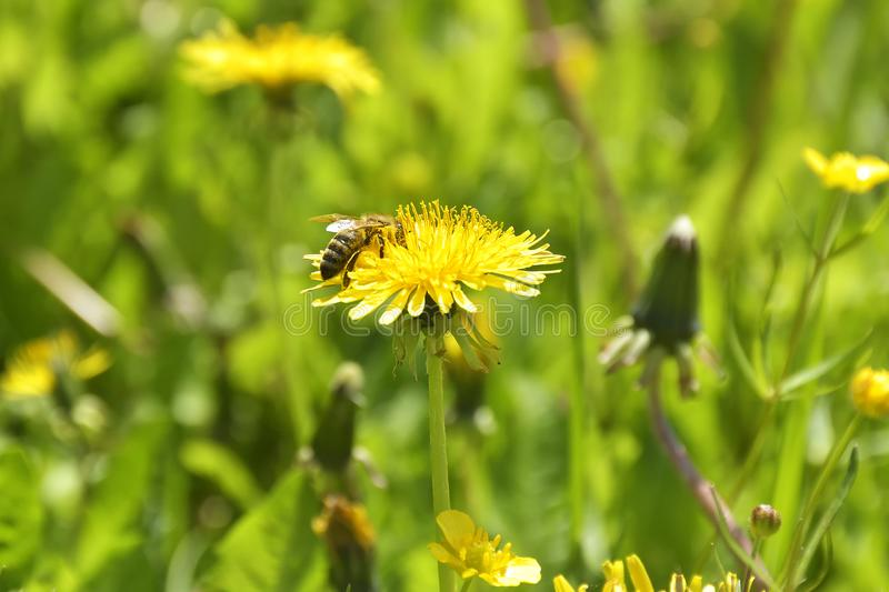 Bumble Bee on dandelion flower in springtime. Collecting nectar royalty free stock image