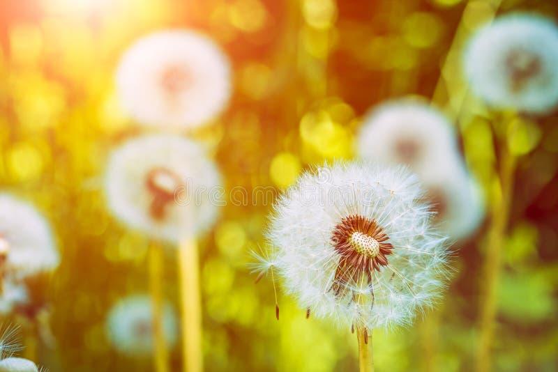 Dandelions blowballs pod słońce racami przygotowywają zaczynać ziarna downwind zdjęcie stock