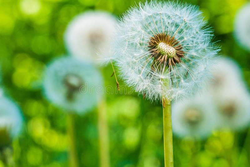 Dandelions blowballs przygotowywają zaczynać ziarna downwind zdjęcia stock