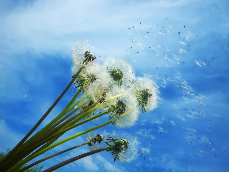 Dandelions blowing seeds in the wind stock images