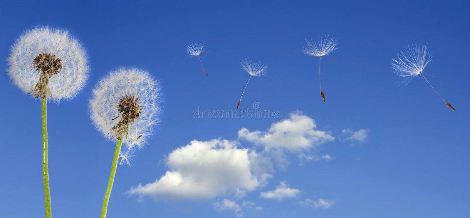 Dandelions on blue sky royalty free stock photography