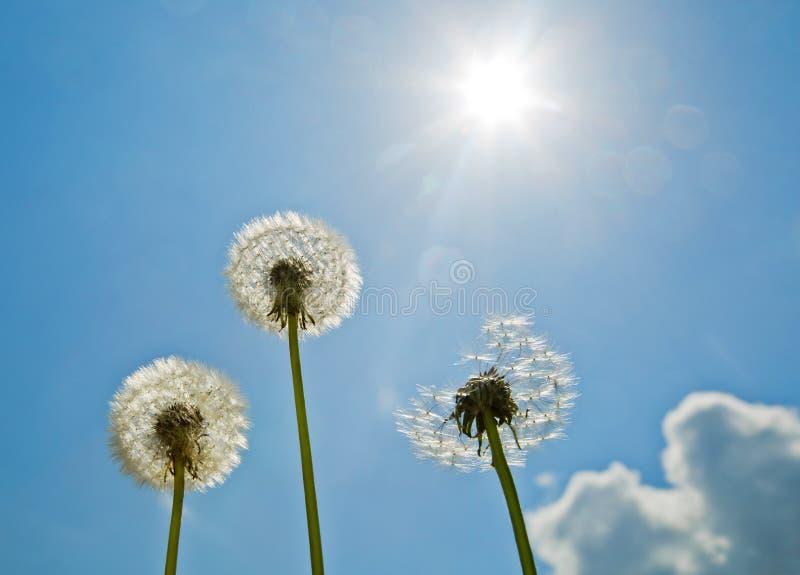 Dandelions on the blue sky. Bright sun. Sunshine stock photo